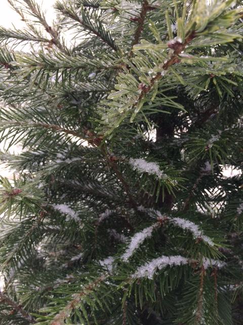 icy-evergreen