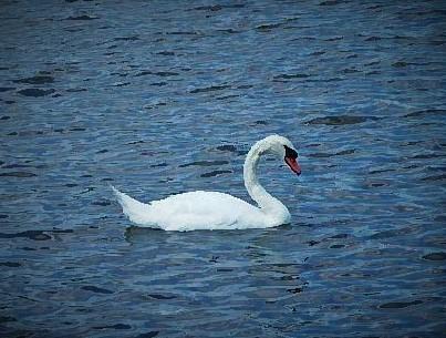 Swan (2)
